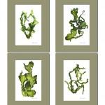 Sea Lettuce SeaweedArt Prints