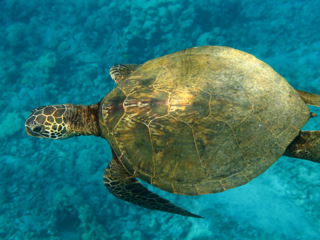 Image of a green sea turtle
