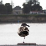 image of one legged seagull